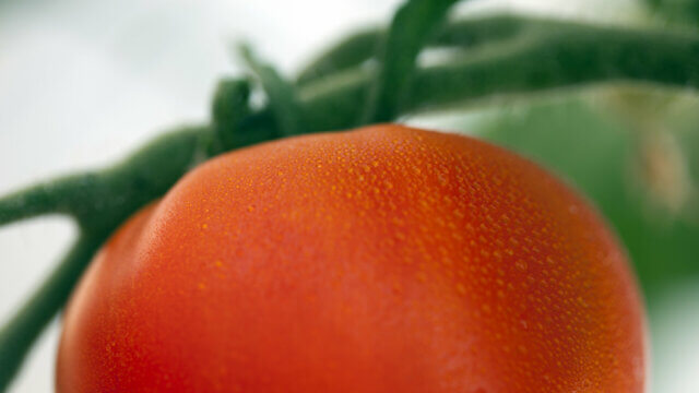 The ripening hormone: Ethylene